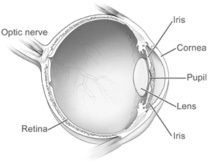 Glaucoma - The optic Nerve